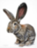 Pet portrait of Storm the Giant British rabbit. Hand drawn in pastels by Naomi Jenkin.