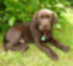 Chocolate labrador puppy. Pet porait reference photo. Naomi Jenkin Art. Devon and Cornwall, UK.