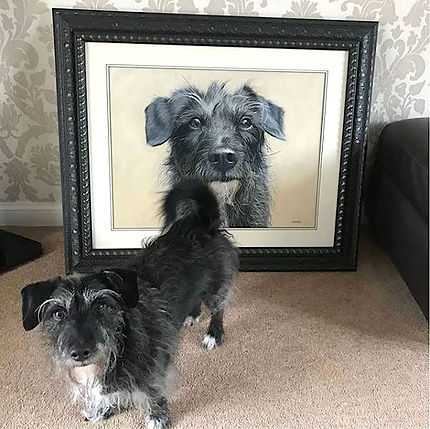 Jackapoo dog portrait commisson. Hand drawn in pastels by pet portrait artist Naomi Jenkin. Based in Cornwall, UK.