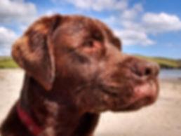 Labrador Pet Portraits Naomi Jenkin Art Cornwall