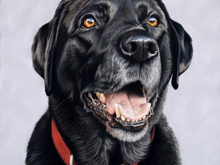 Timelapse of Breaca the Black Labrador