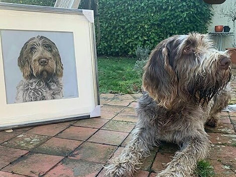 Italian Spinone dog posing with his pet portrait.