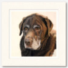 Pet portrait of Marvin the Chocolate Labrador, hand drawn by dog portrait artist Naomi Jenkin.