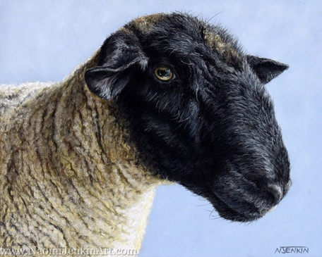 Suffolk Ram sheep portrait