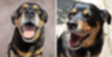 Pastel dog portrait of Cillian the Rottweiler, hand drawn by pet portrait artist Naomi Jenkin. Photograph of Cillian on the right.