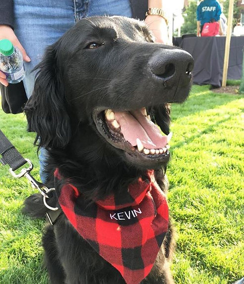 Kevin the black Flat-Coated Retriever