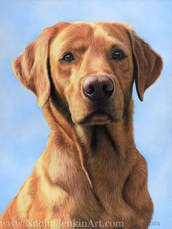 Fox Red Labrador portrait