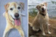 Portrait of Dylan the Golden Labrador