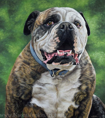 Australian Bulldog portrait