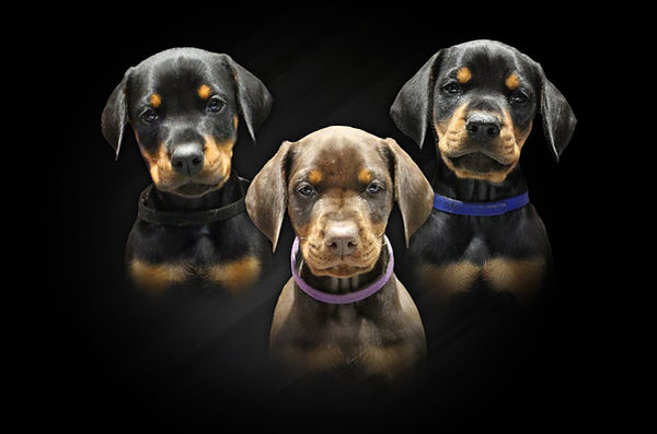 DOBERMANN PUPPY PAGE HEADER.jpg