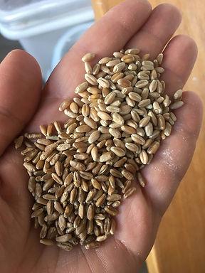 hard grain.JPG.jpg