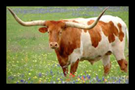 Longhorn cow w orange hide.jpg