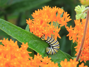 Why are pollinators important to Conservation Dogs Collective?