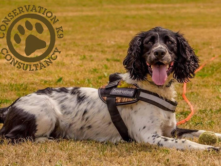 Sniffing Around the Globe: Conservation K9 Consultancy