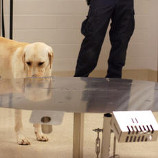 The Nose Knows: Sniffing Out Cancer at the Penn Vet Working Dog Center