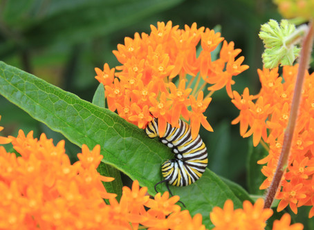 Why are pollinators important to Midwest Conservation Dogs, Inc.?