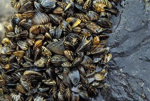 zebra mussel_Image from mo.gov