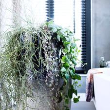 Houseplants: Ceropegia woodii