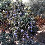 Plantación de Mango