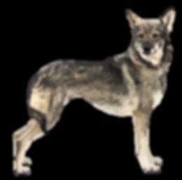 lobo-herreño-vector.png