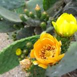 Flor de Higopico - Tunera