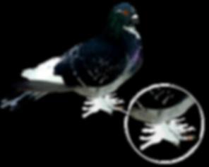 patipluma-vector-explicación.png