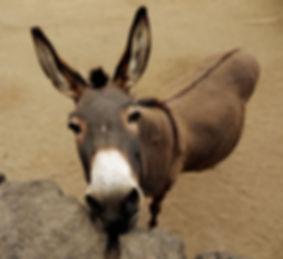 burro-3_edited.jpg