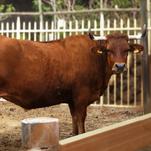 Vaca Basta