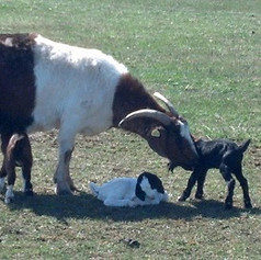 Goats - Steve.jfif
