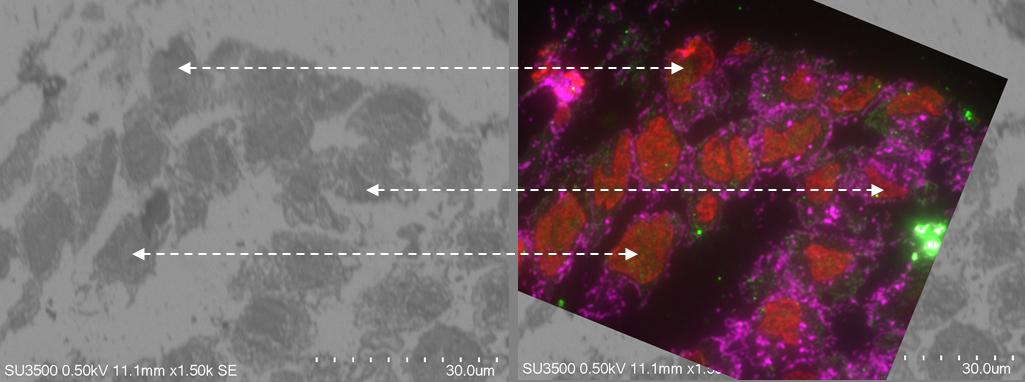 SEM-fluorescence image correlation