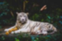 visuel tigre.png