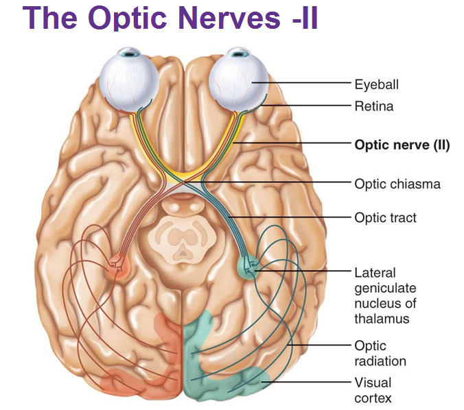 Brain connection to optic nerve