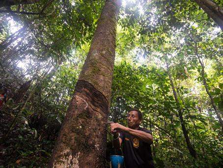 SHIRINGA DE LA AMAZONIA PERUANA AL MUNDO