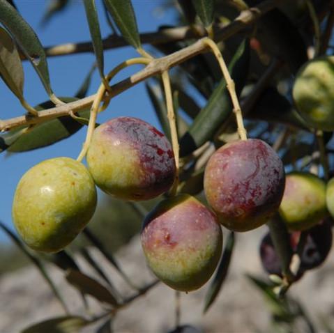 Olivenöl und Olivenernte