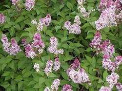 Beautiful Lilacs
