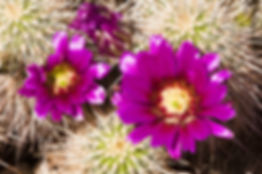 hedgehog cactus blossoms blooming in the
