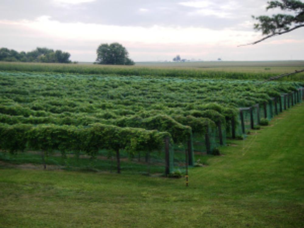 Vineyard Pre-Harvest