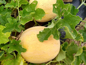 July 2020 - Got Good Melons? Yes we do! Cause we pick 'em ripe!