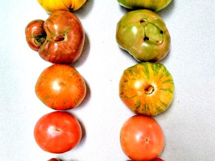 September 2020 – Heirloom Tomato Tutorial!