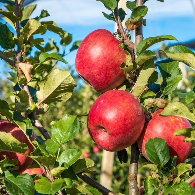 Fruit & Nut Trees