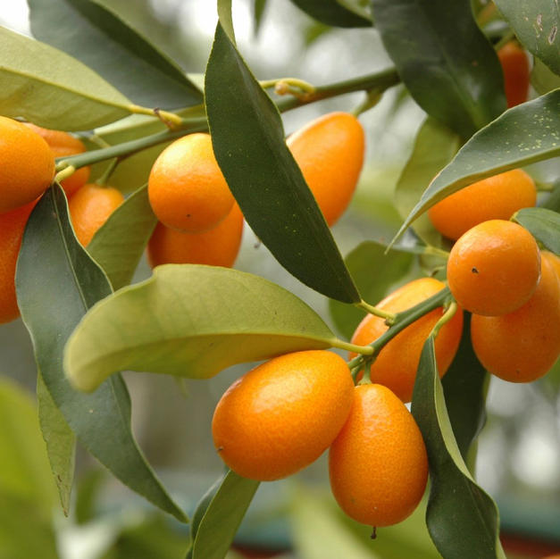Cumquat