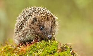 Hedgehog 1000x600.jpeg