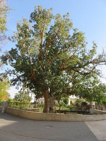 zaccheus-sycamore-tree.jpg
