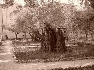 Olive_tree_on_the_Mount_of_Olives.jpg