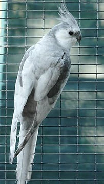 silver white faced cockatiel