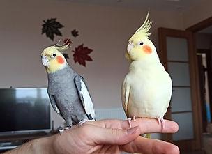 tamed cockatiels
