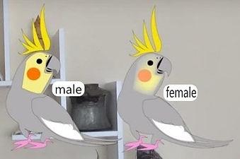 male female gray cockatiel