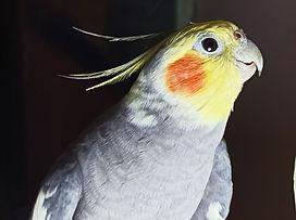 talking cockatiel