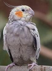 silver cockatiel