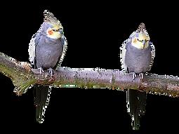 cockatiel breed